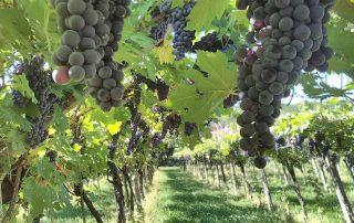 taste verona blog_Uve rosse di Verona