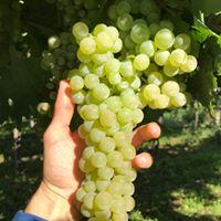 Garganega grape