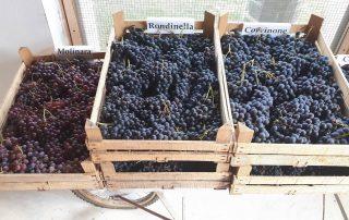 Verona wine blog-Amarone grape varietals