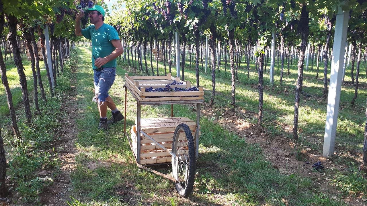 Vendemmia manuale di uve Amarone