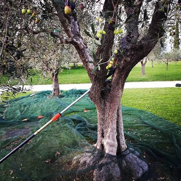 Vendemmia olive