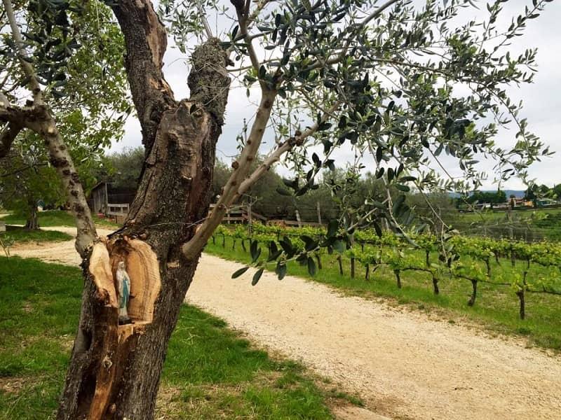 wine trekking olive tree and vines