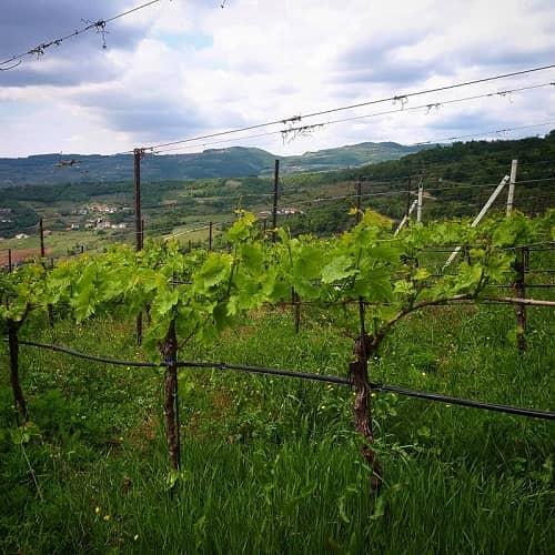 Wine tour del Durello- Vigneto Durella